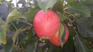 Apples Bishops